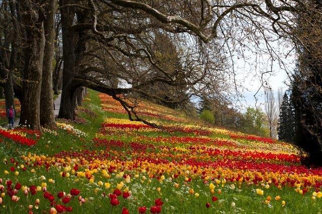 аллея с тюльпанами на острове Майнау на Бодензее в апреле